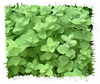 アロマテラピー教室「Natural Herb ナチュラルハーブ」アロマテラピー検定対策の専門サイト。ハーブで手作り「スペアミントアイス」ミントの葉葉