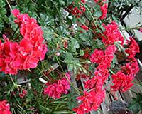 アロマテラピー教室「Natural Herb ナチュラルハーブ」アロマテラピー検定対策の専門サイト。「ハーブに囲まれて」ゼラニウムです。
