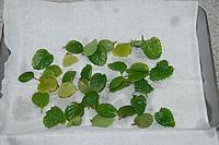 ハーブの葉を水道水で洗って、水を切っておきます。
